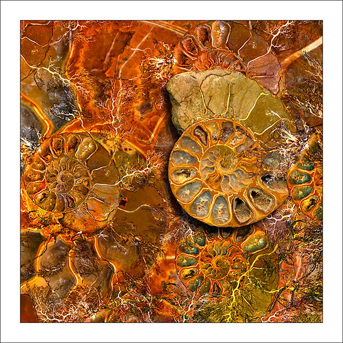 fp199. Ammonite Delight