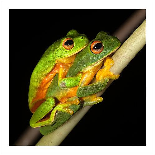 fp284. Love Frogs