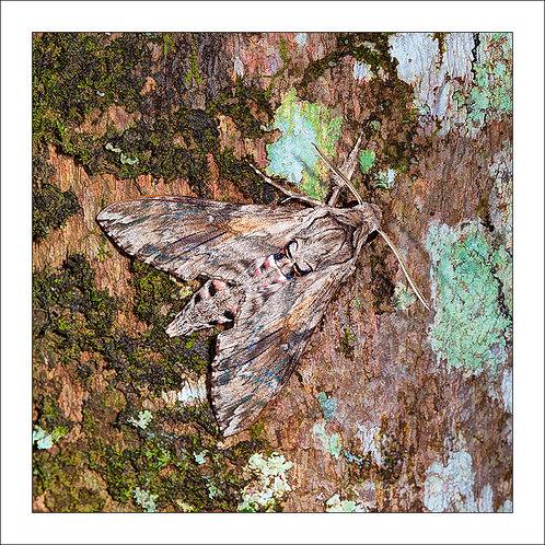 fp314. Hawk Moth