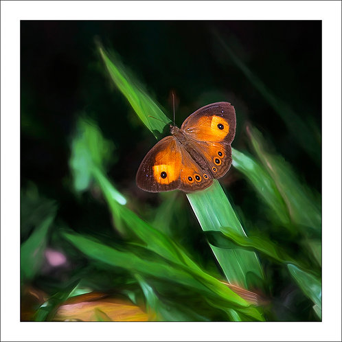 fp318. Orange Bush Brown