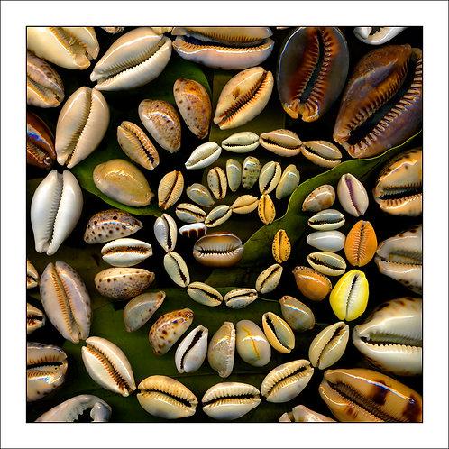 fp97. Cowrie Shells