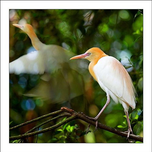 fp90. Egret