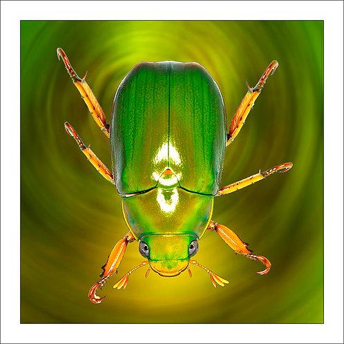 fp91. Christmas Beetle