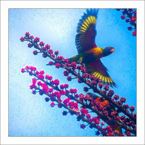 fp328. Lorikeet Flying