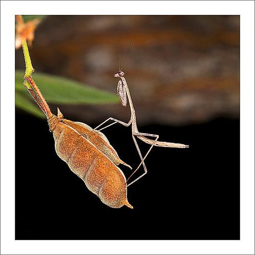 fp187. Mantis Seedpod