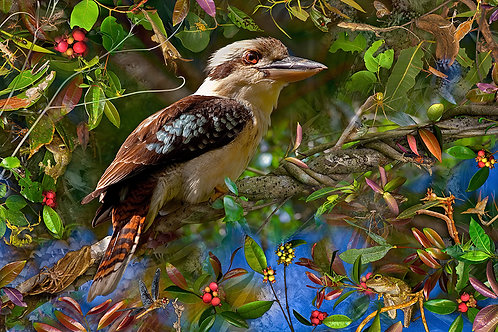 Kookaburra Delight