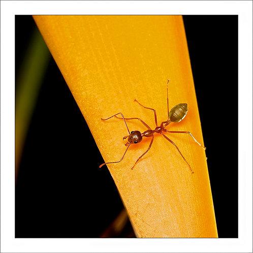 fp215. Greenant (orange)