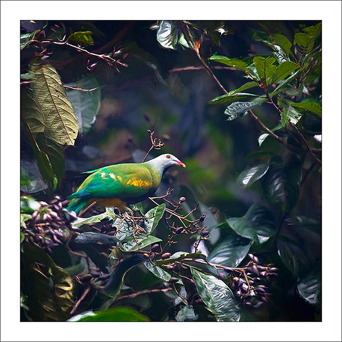 fp202. Woompoo fruit dove
