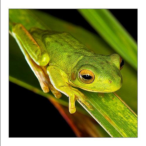 fp190. Baby Whitelip Treefrog
