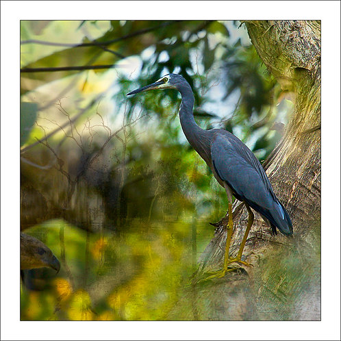 fp235. White Faced Heron