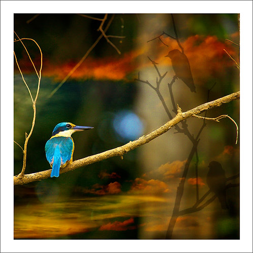 fp102. Sacred Kingfisher