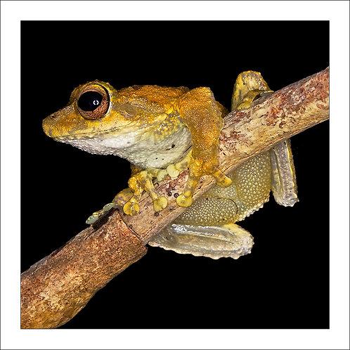 fp113. Green Eyed Treefrog (Litoria serrata)