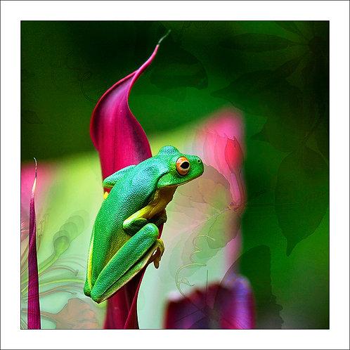 fp43. Green treefrog (magenta)