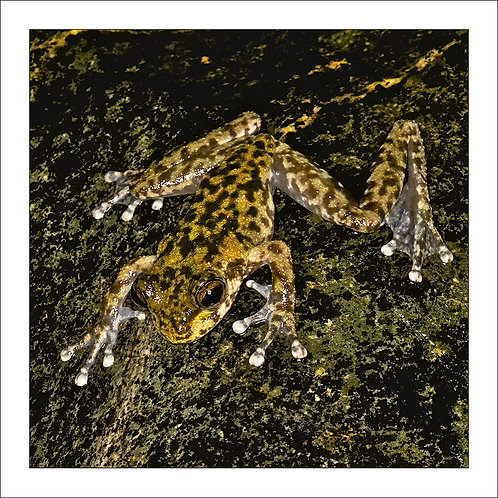 fp119. Waterfall Frog (Litoria nannotis)