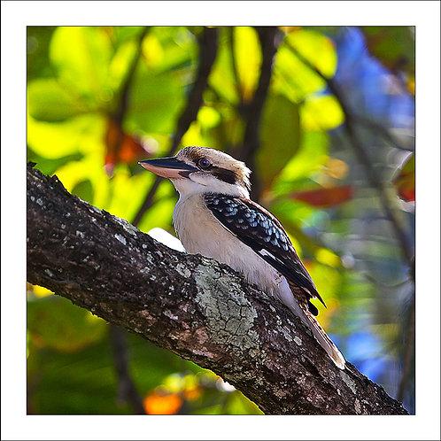 fp173. Kookaburra Almond