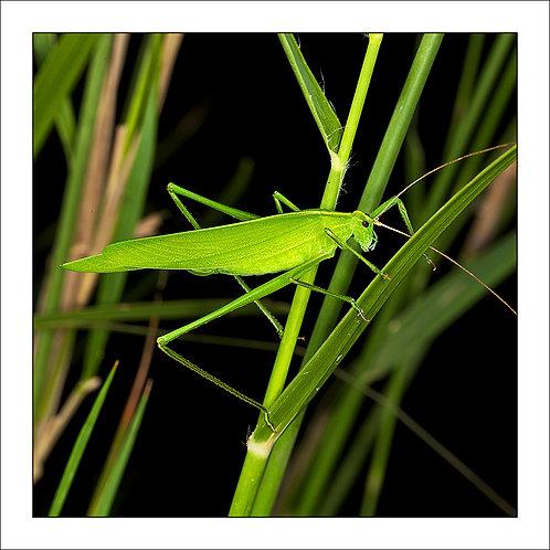 fp188. Katydid Grass