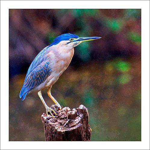 fp84. Straited Heron