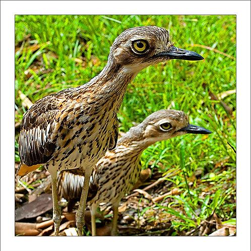 fp145. Curlews