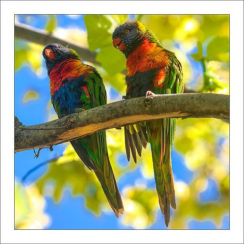 fp273. Rainbow Lorikeets