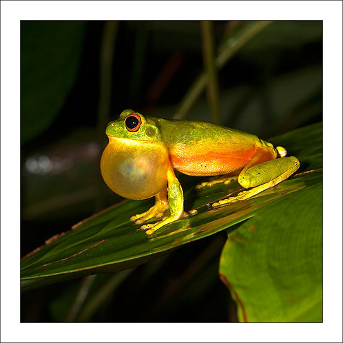 fp283. Orange Thighed Treefrog (male croaking)