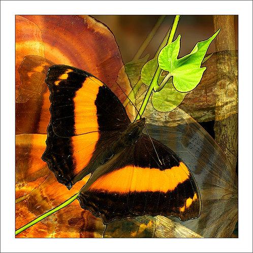 fp171. Lurcher Butterfly