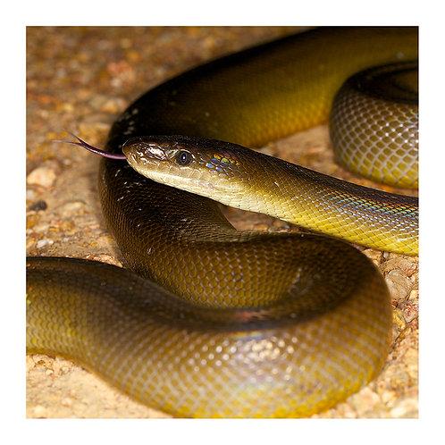 fp107. Olive Python