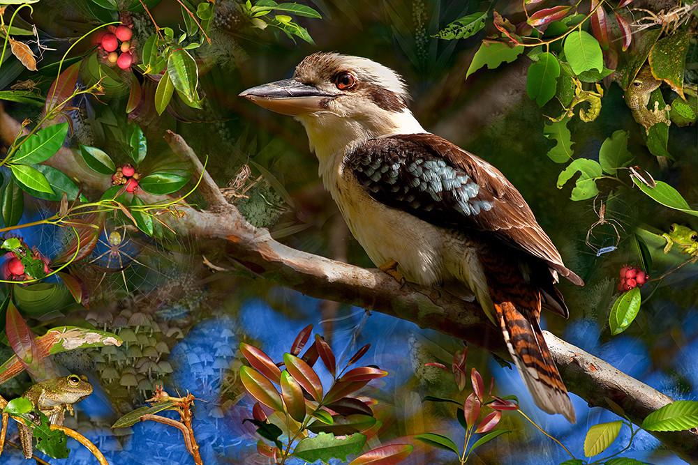 Kookaburra (limited edition)