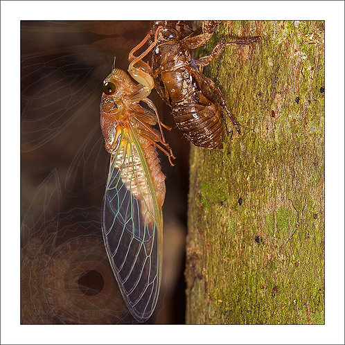 fp242. Cicada Emmerging