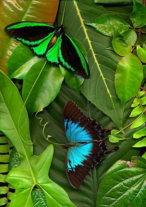 Uylsses Birdwing