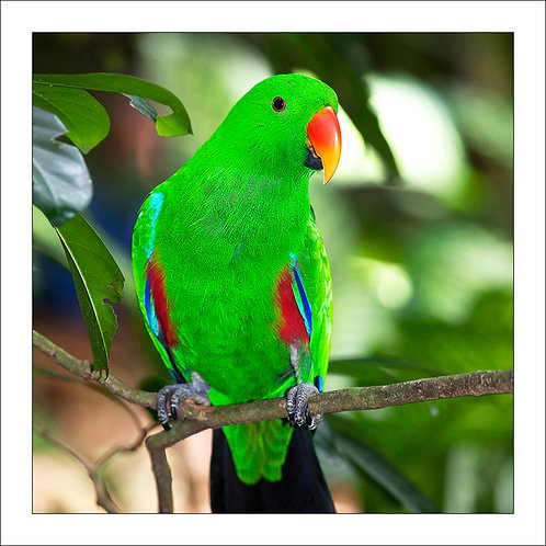 fp249. Eclectus parrot (green male)