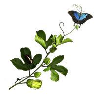butterfly_vine.jpg