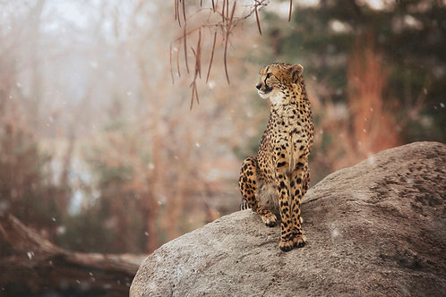 """Winter Cheetah"""