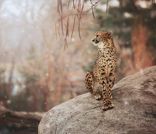"""Winter Cheetah"""