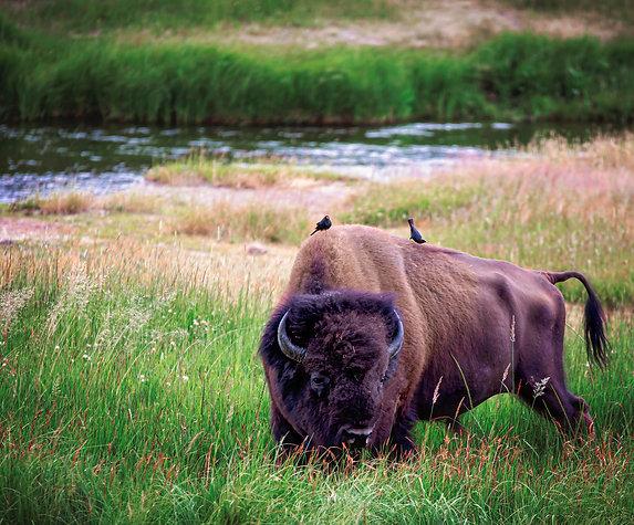 """Coexist""- Mary Bailey Yellowstone National Park"