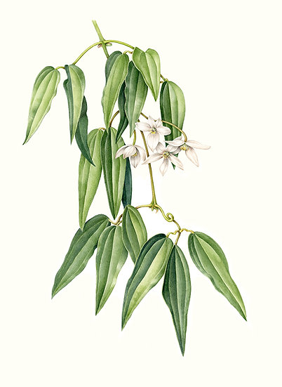Clematis armandii, watercolor and colored pencil
