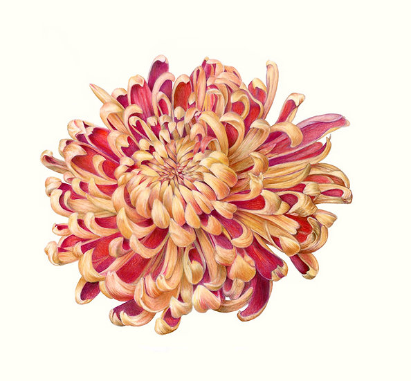 Coppermum Blossom, colored pencil on mylar