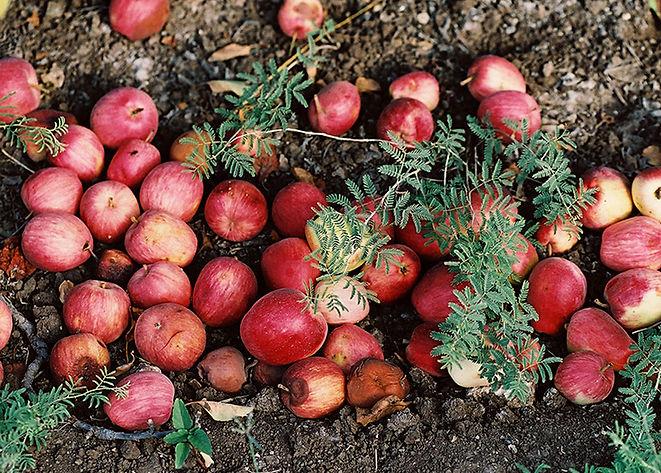 Fallen Æbler