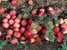 apples on ground