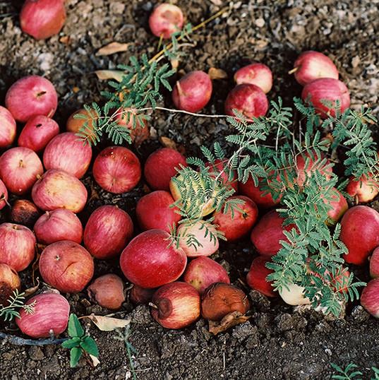 gefallene Äpfel