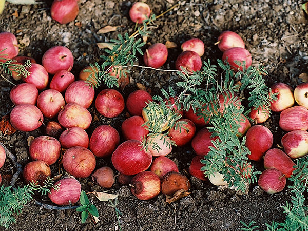 フォールンリンゴ