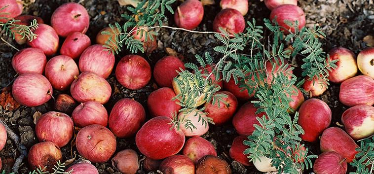 pommes déchus