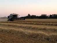 Combining Wheat July 2016.JPG