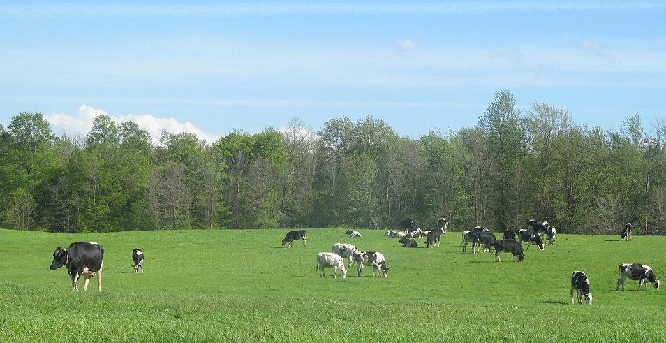 cows in pasture.jpg