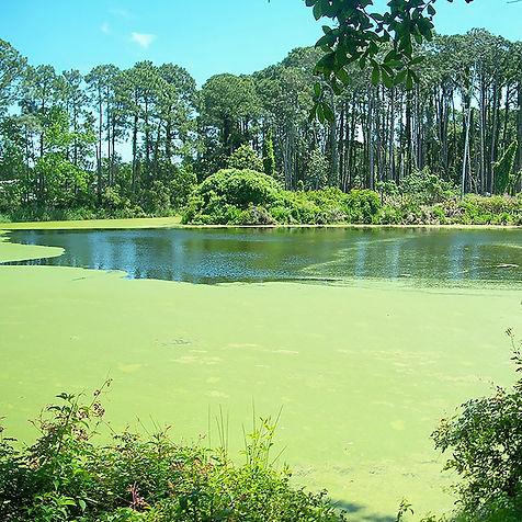 duckweed_pond.jpg