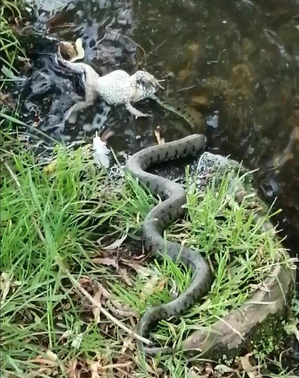 Snake eating a frog in Home Park