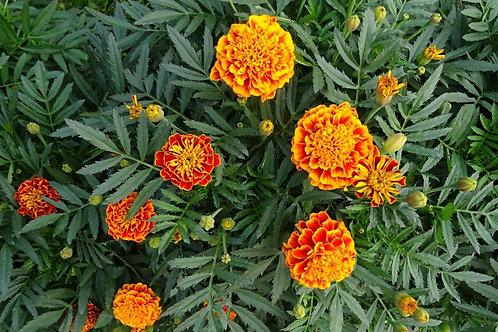 Marigold Plant (7cm Pot)