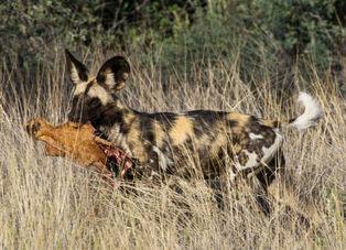 Kalahari Wild Dog
