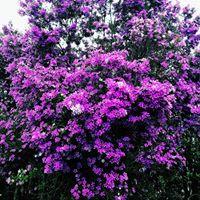@tassivale Tassiana Vale D' Elboux Tassi Vale flores primavera flores roxas árvore spring flowers