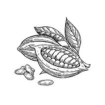 104176047-cocoa-vector-superfood-drawing