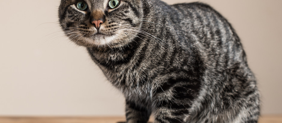 Is Your Tabby Looking Tubby?